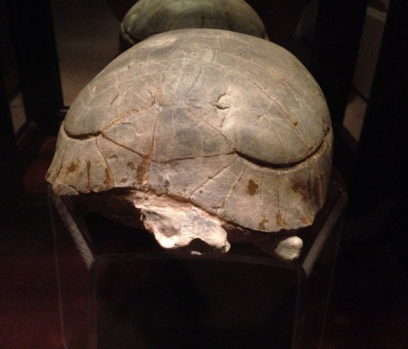 Stylemys nebrascensis Tortoise Fossil in Cabinet