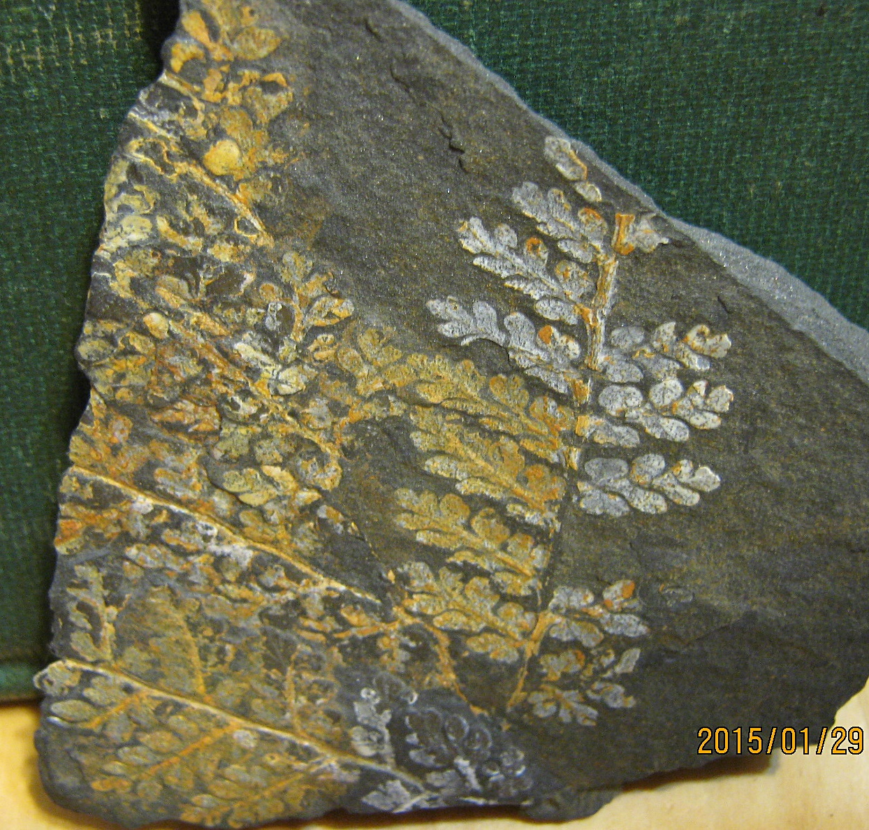 Pyrite fern from St. Clair, PA.