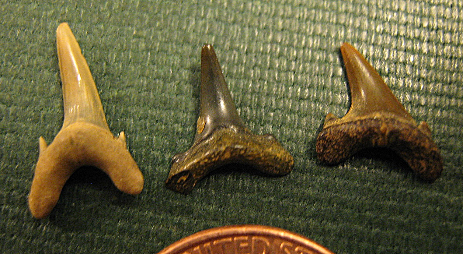Sand Tiger Shark teeth from New jersey