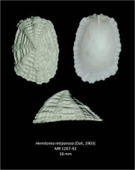 Gastropods of the Tamiami Formation