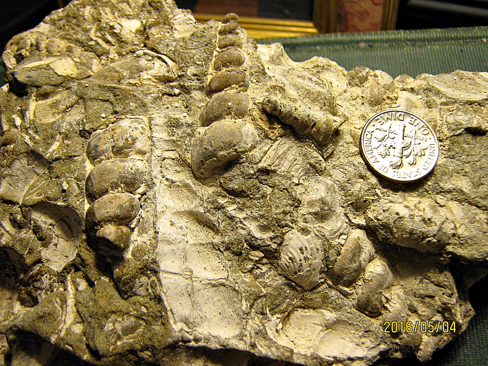 Aquia Formation Turritella and Bivalve Molds with Some Shell Material