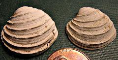Asarte clam from the Calvert Cliffs