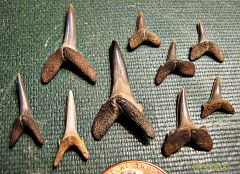Sand tiger shark teeth from the Potomac River, Maryland