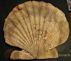 Miocene Scallop from Calvert Cliffs, Maryland