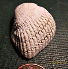 Miocene Clam from Calvert Cliffs, Maryland