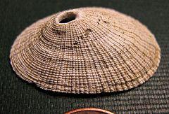Miocene Limpet from Calvert Cliffs, Maryland