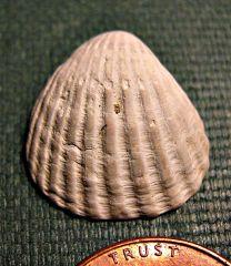 Cardita Clam from the Calvert Cliffs