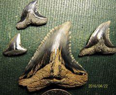 Snaggletooth Shark Teeth from Calvert Cliffs, Maryland
