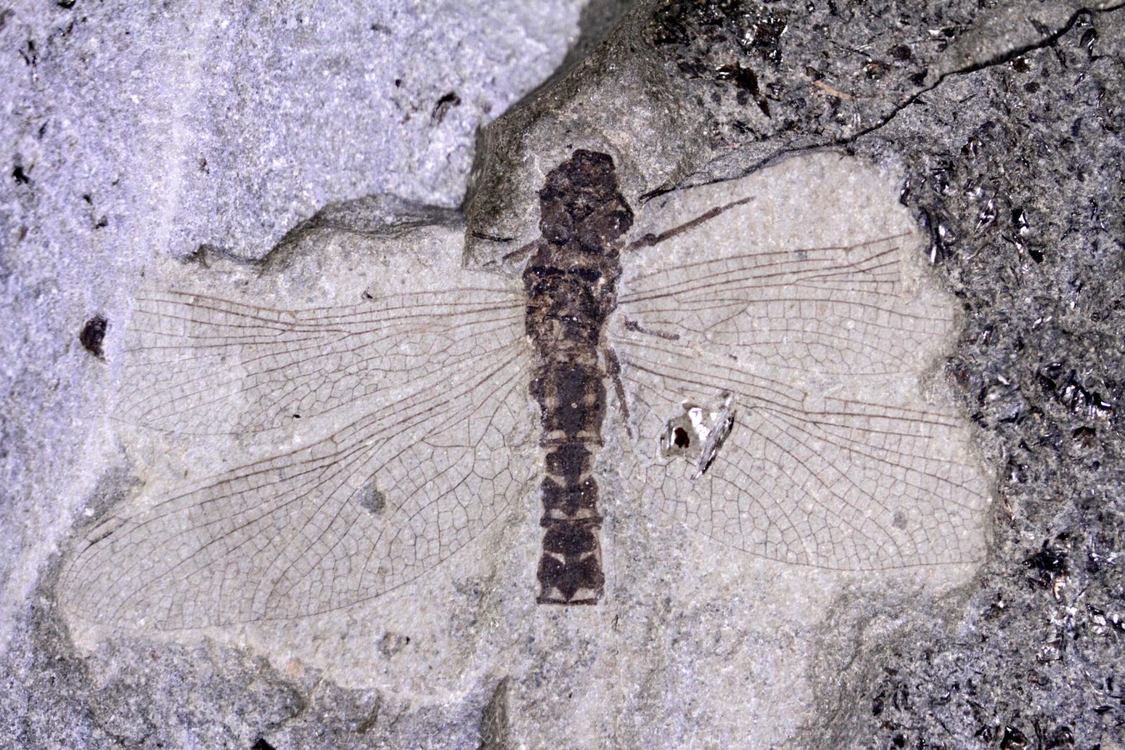 Dragonfly - Members Gallery - The Fossil Forum