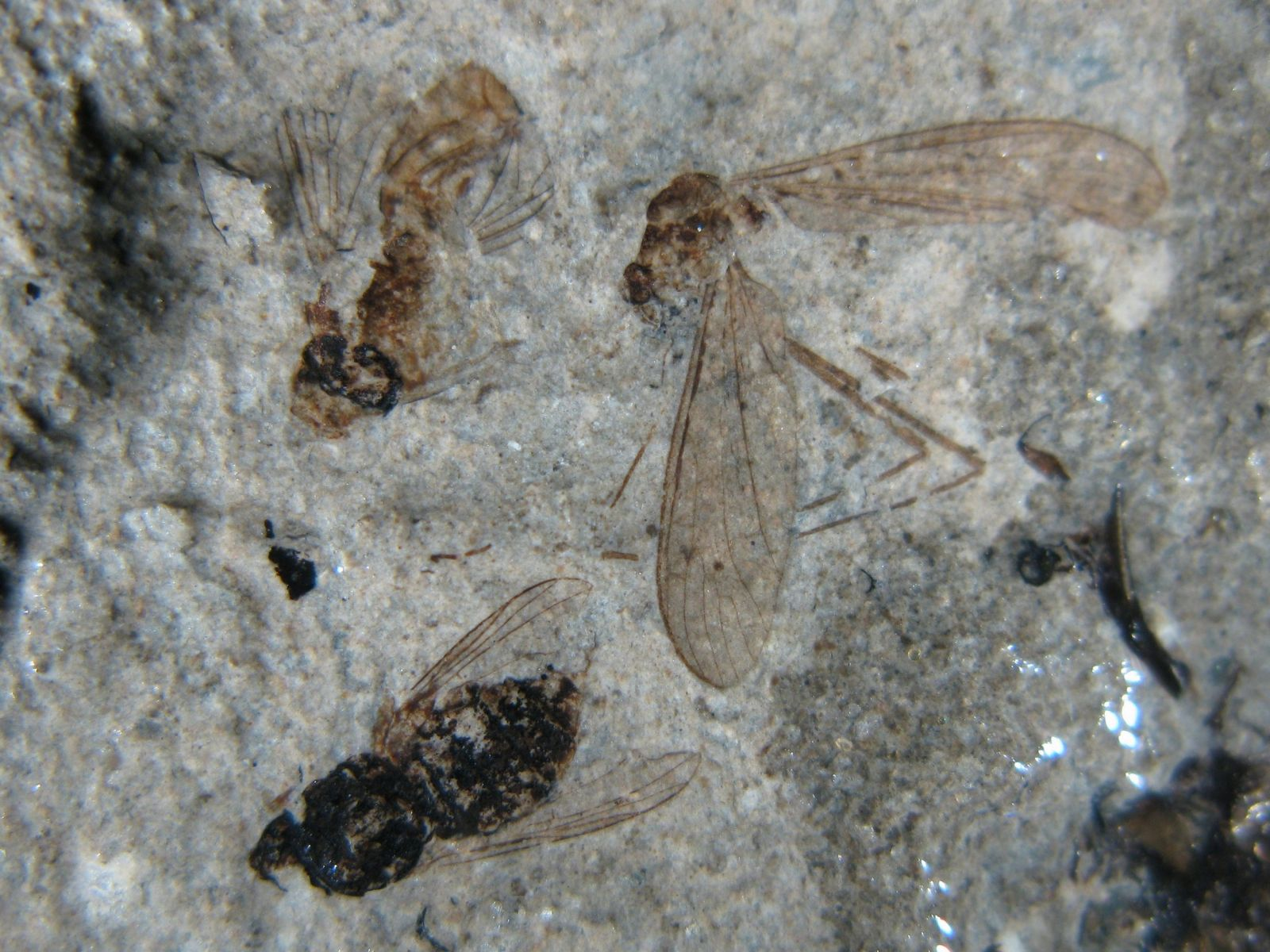 Insects from the Fur Formation