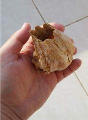 Giant fossil Balanid Concavus Concavus