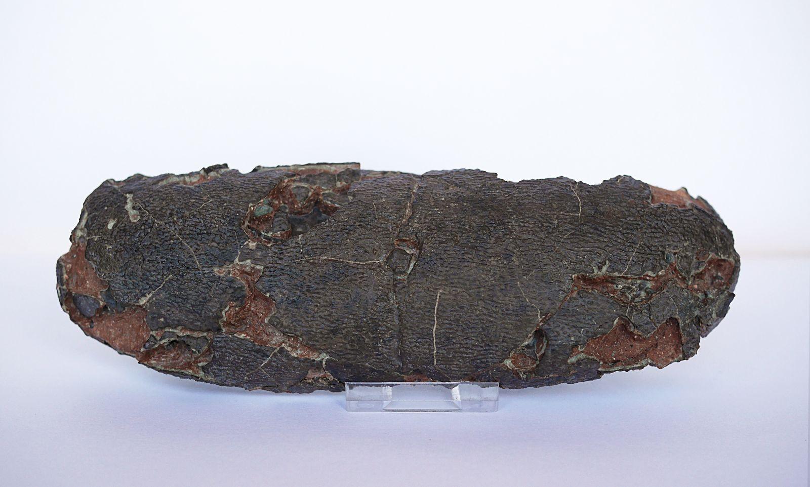 Oviraptor Egg (Elongatoolithus sp.)