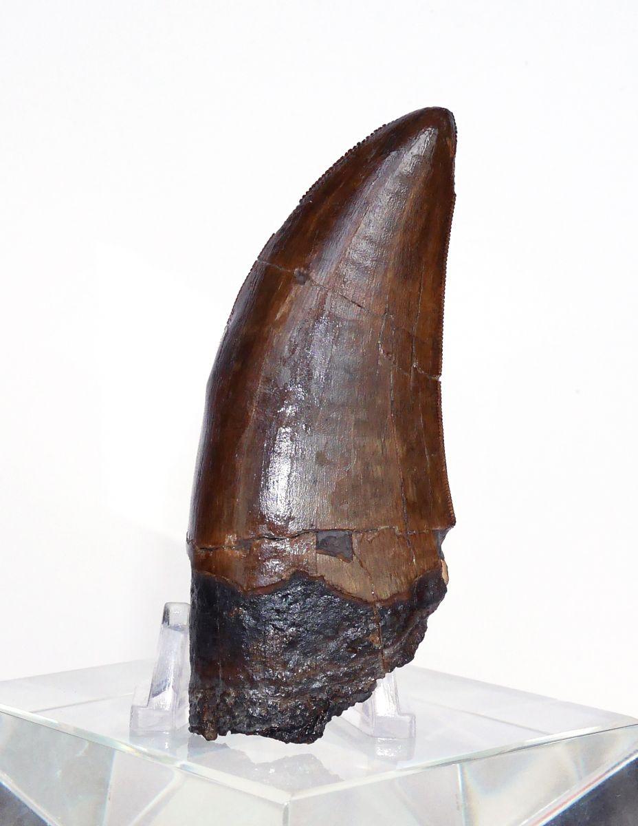 Left Side (Tyrannosaurus Rex)