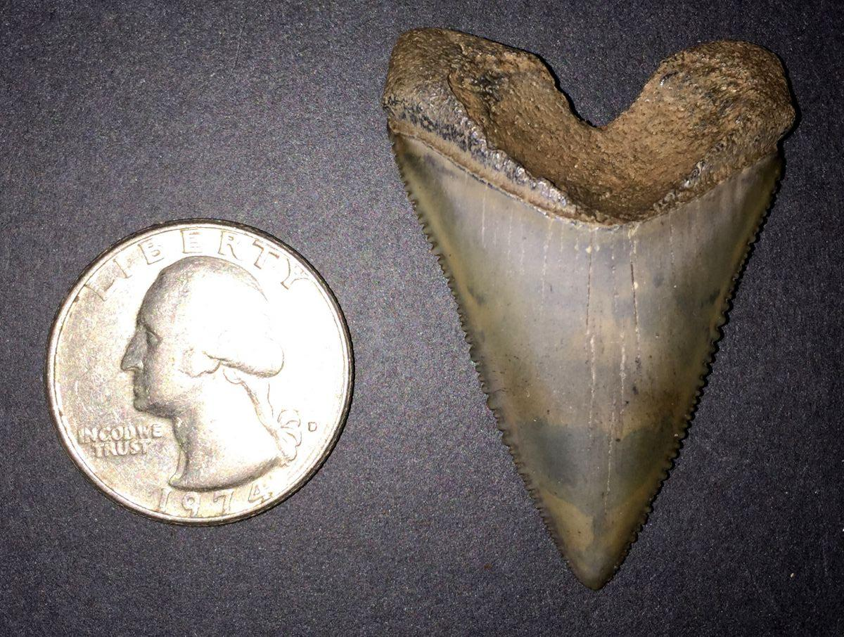 GMR Great White Shark Tooth (Carcharodon carcharias) #2 ... Carcharodon Carcharias Teeth