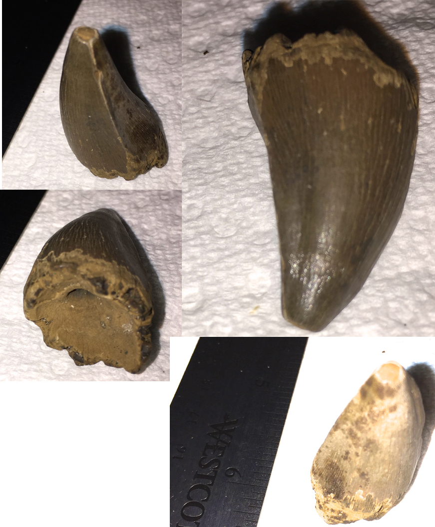 GMR Mosasaur Tooth