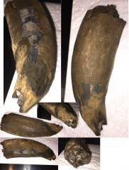 GMR Sperm Whale Tooth