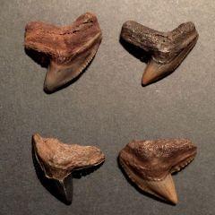 GMR - Tiger Shark Teeth (Galeocerdo cuvieri)