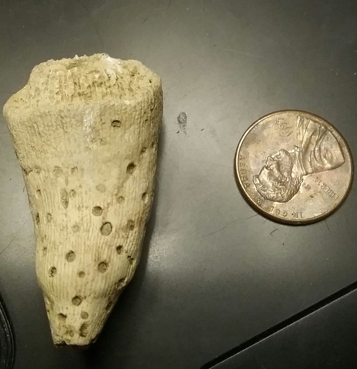 Eocene Rugose Coral (Horn Coral) with Predation borings