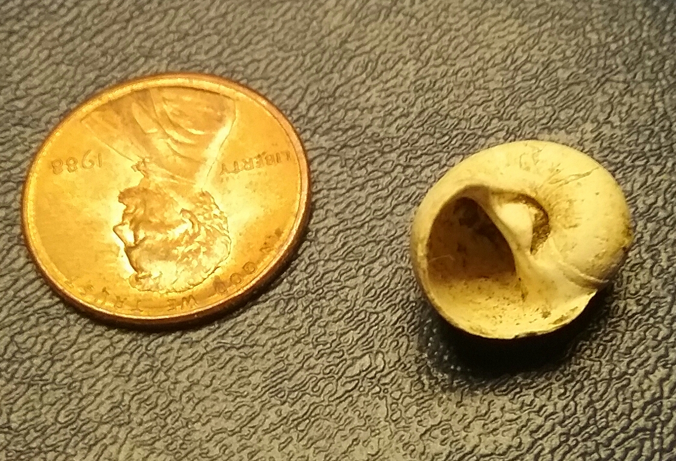 Eocene Shell found in Copenhagen, Louisiana