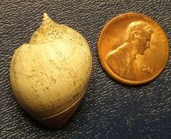 Eocene Shell found in Copenhagen, Louisiana
