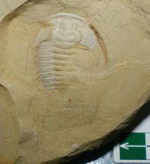 Cambrian Redlichia