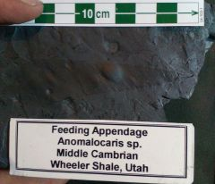 Anomalocaris from Wheeler Shale