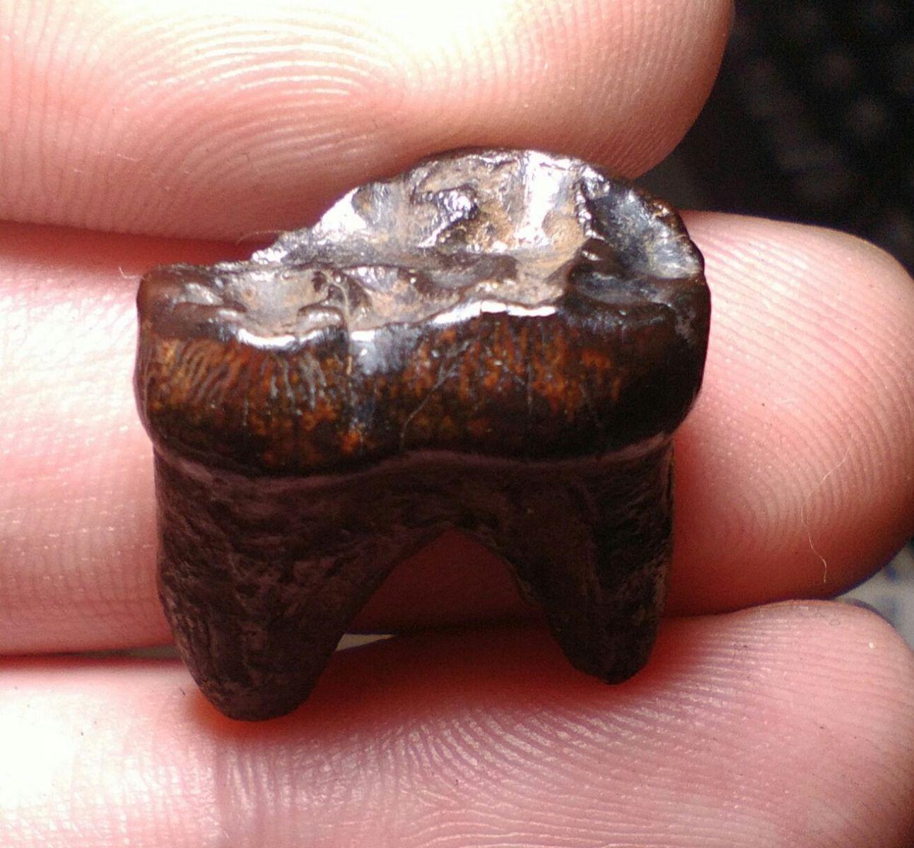 Black Bear Molar