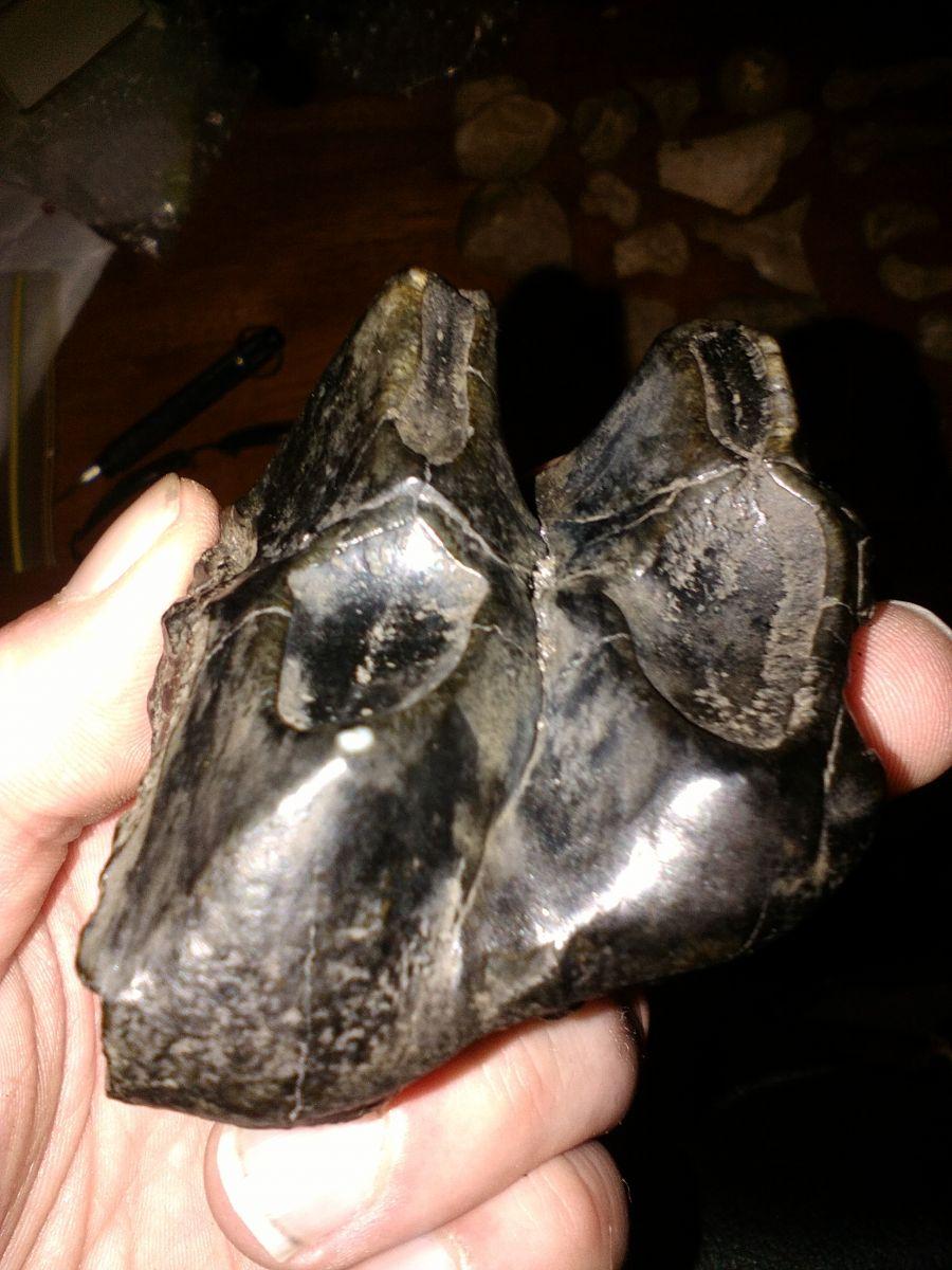 Mastodon tooth partial