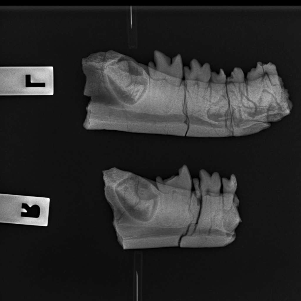 Xray of Hyaenodon mandibles