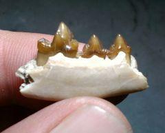 Hesperocyon jaw