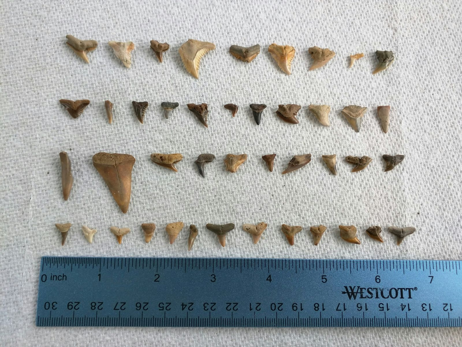 Mixed Shark Teeth