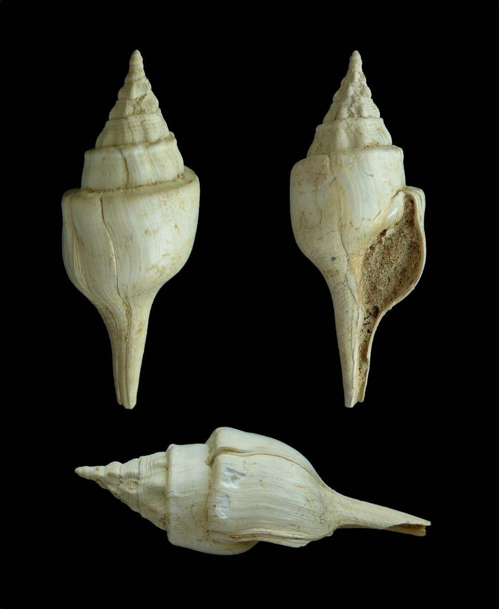 Clavilithes parisiensis
