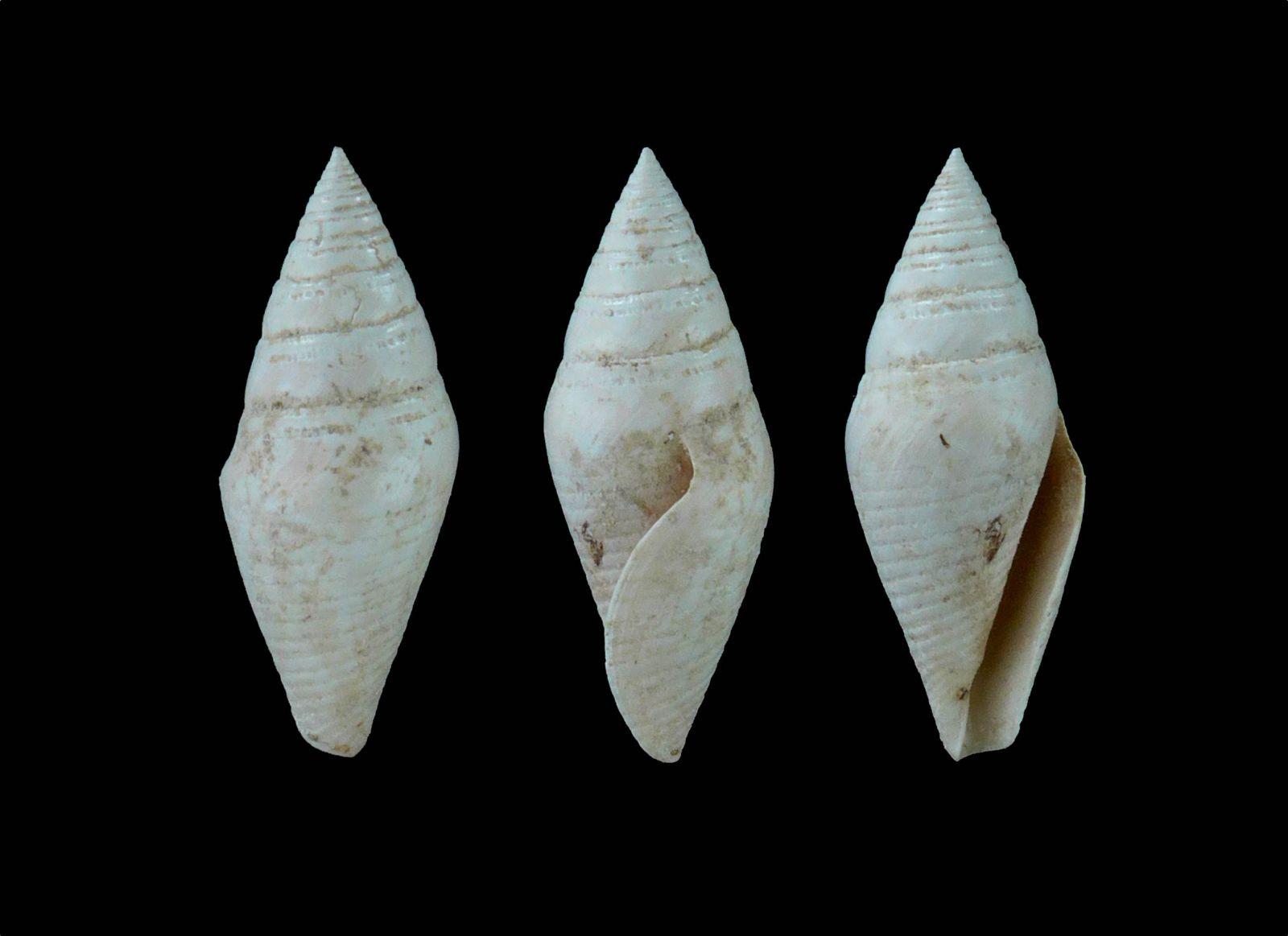 Cryptoconus sp.