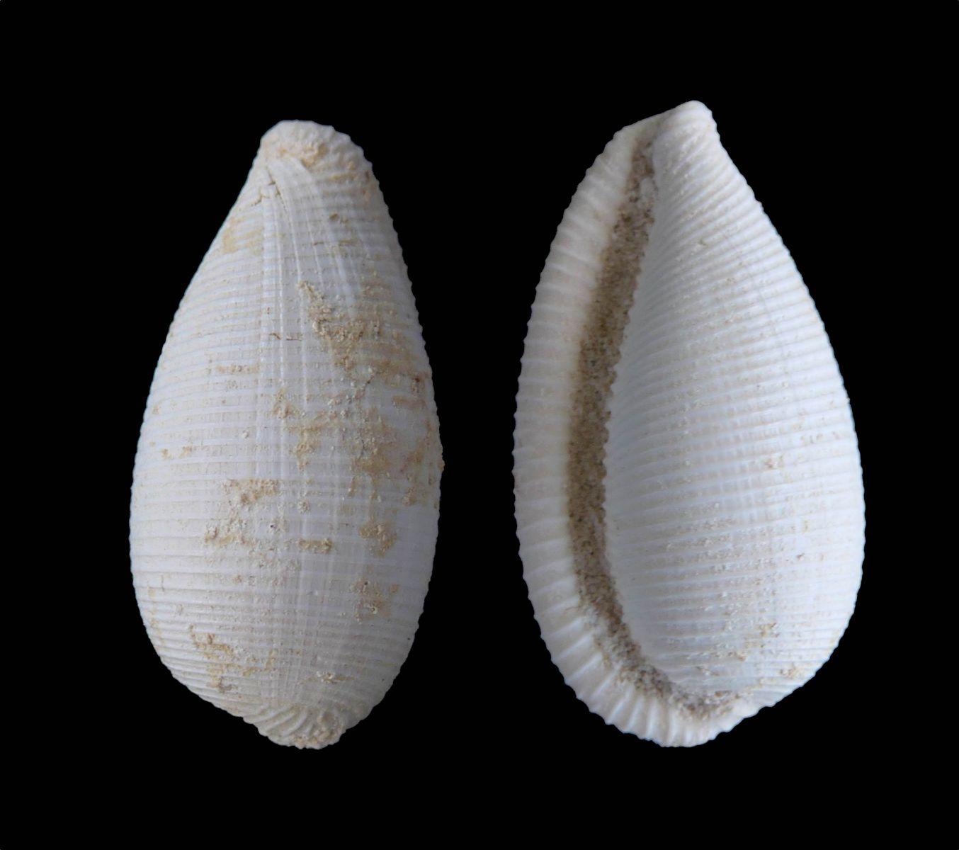 Eucypraedia sp.