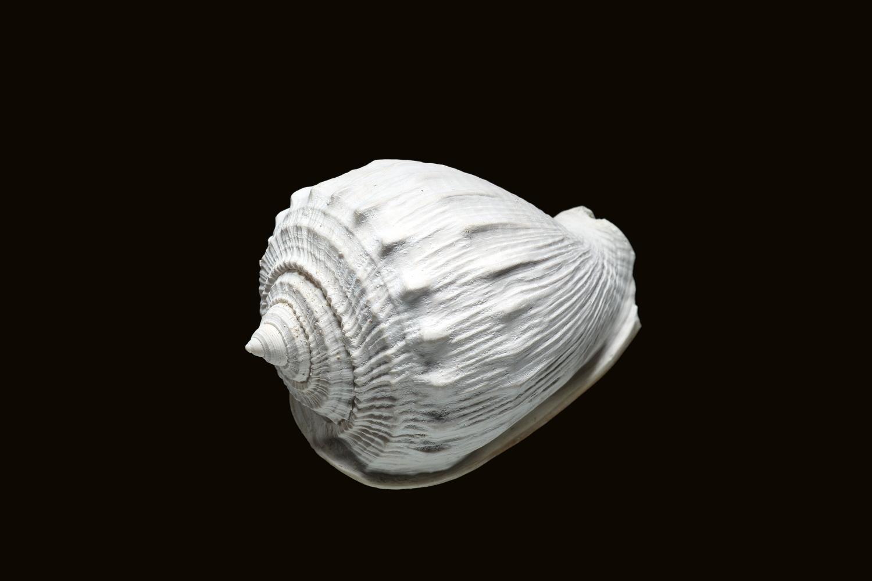 Cassidaria nodosa