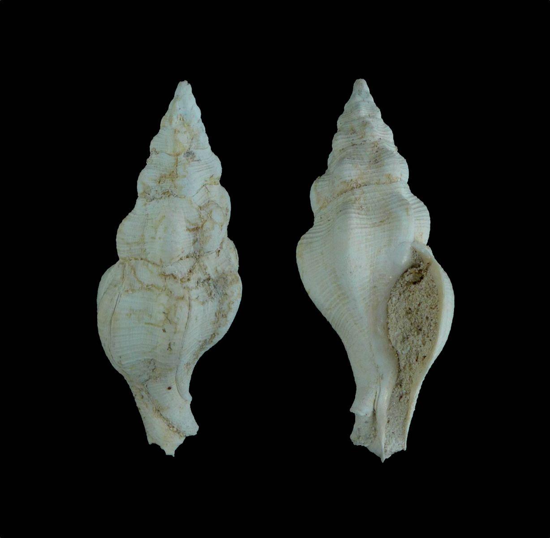 Streptocherus sp.