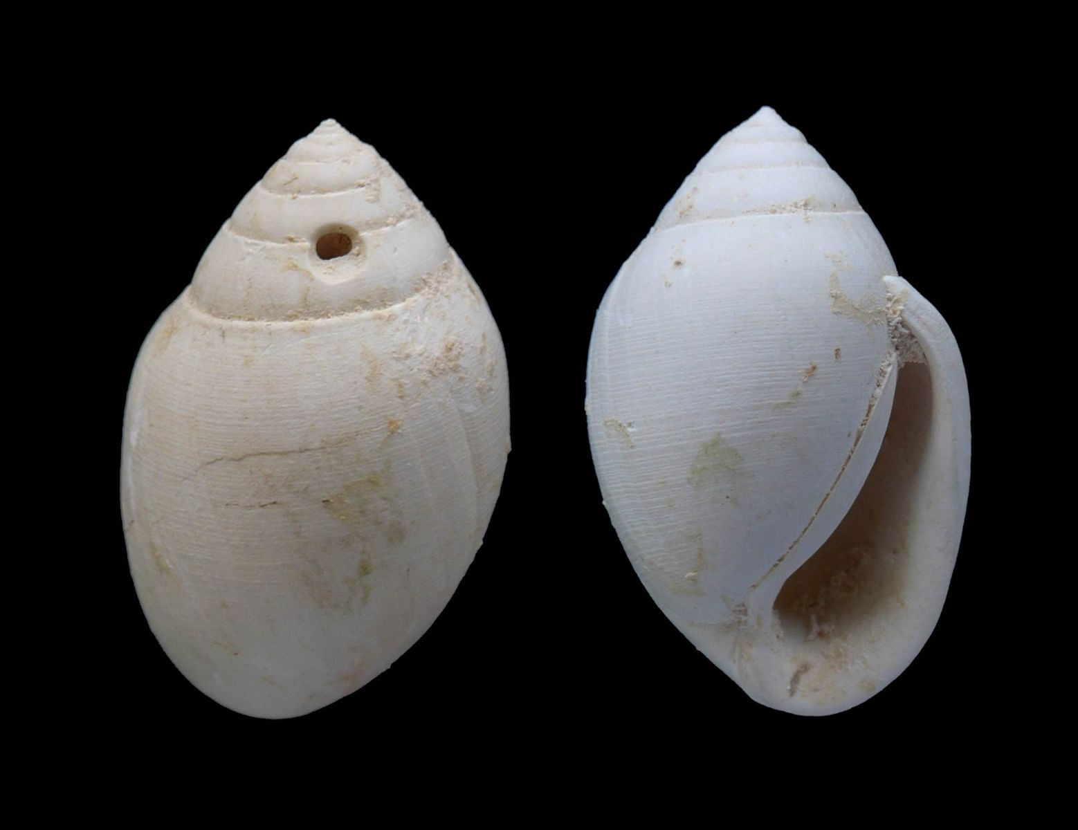 Hemiauricula sp.