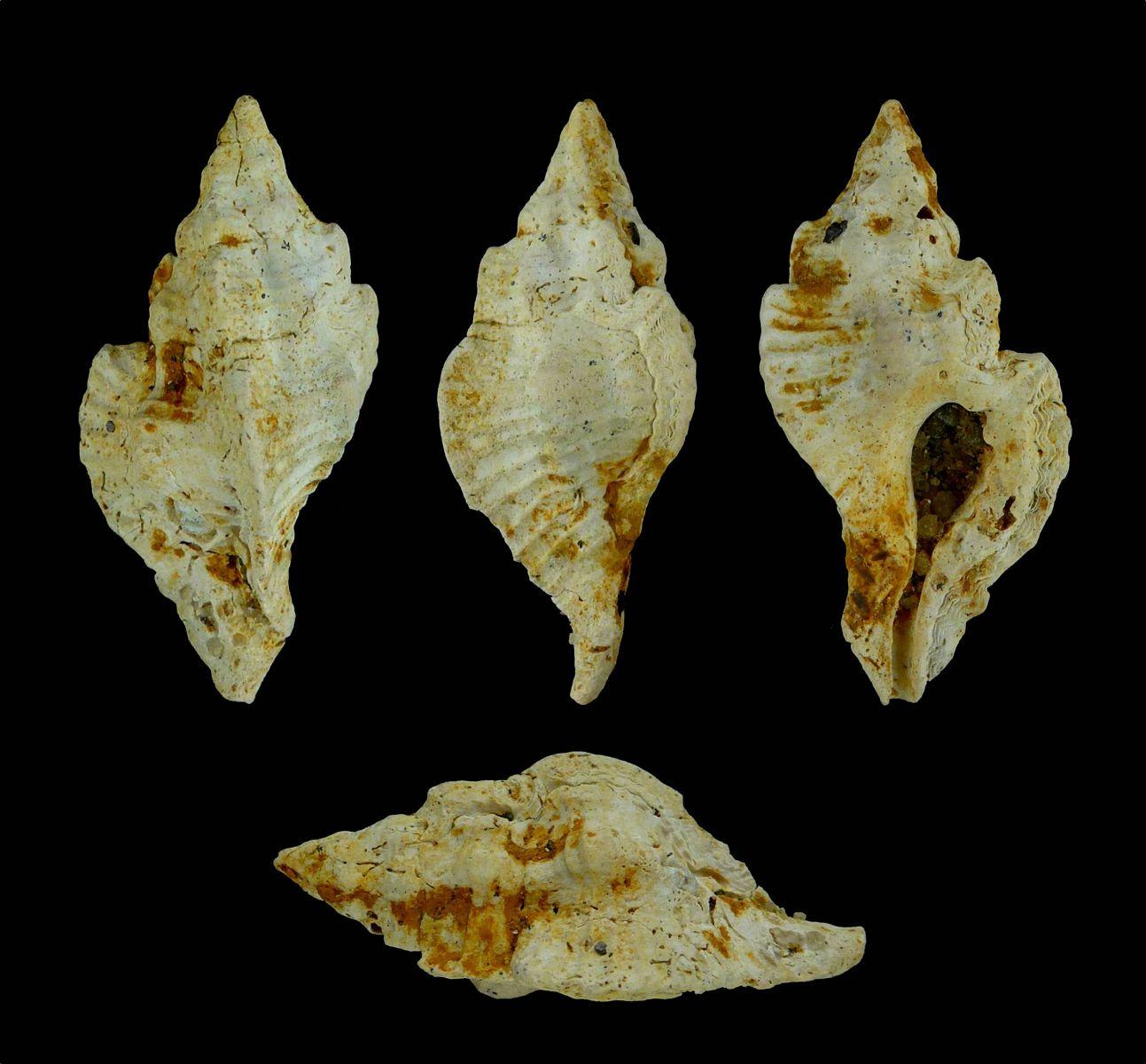 Pterynotus sp.