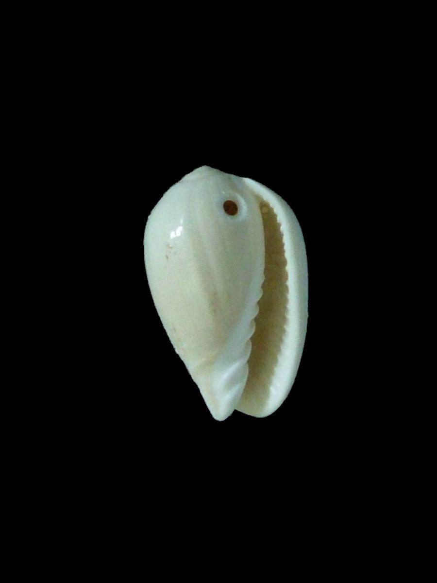 Gibberula ovulata