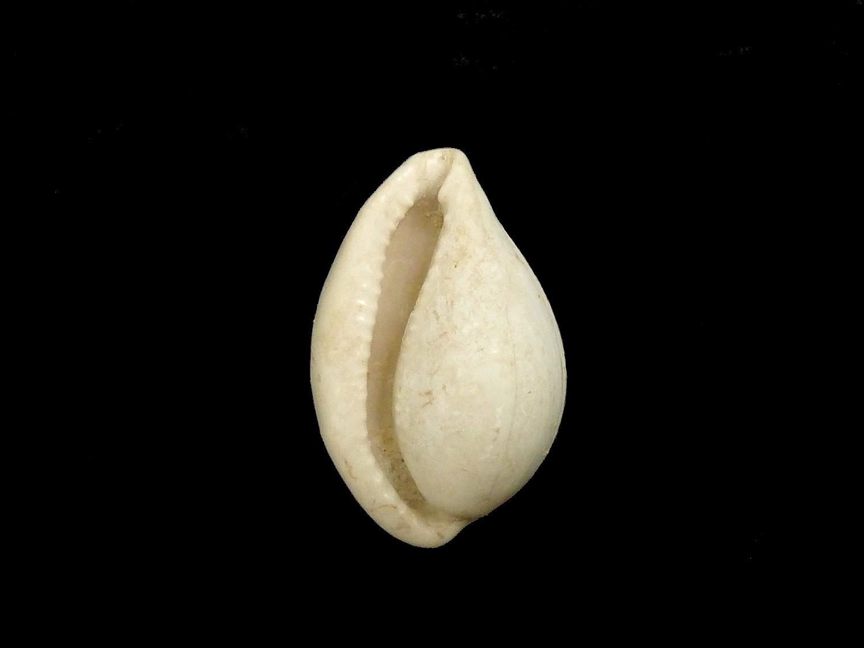 Cypraea elegans