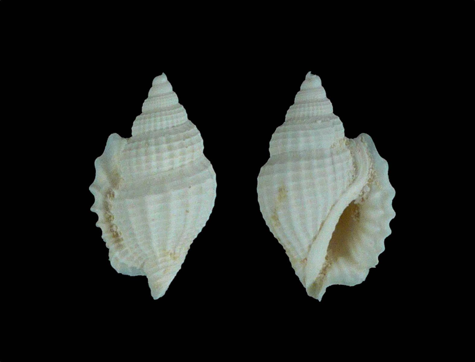Dientomochilus ornatus