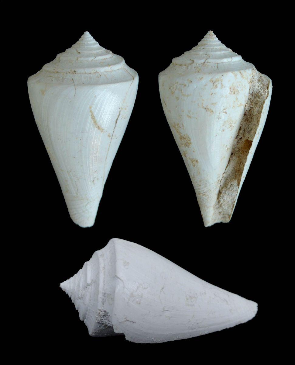 Conus deperditus