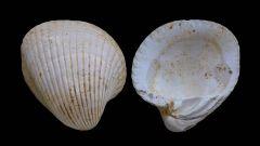 Venericardia planicosta