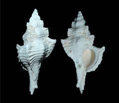 Pterynotus crenulatus
