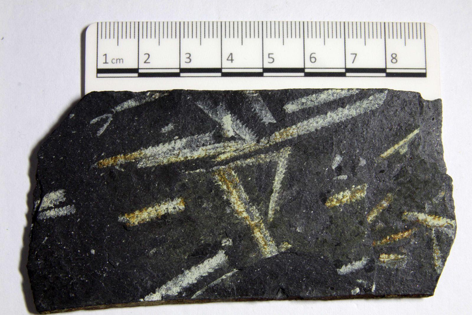 Didymograptus marchioness graptolite
