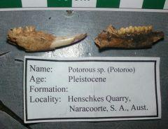 Potorous sp. jaw from South Australia