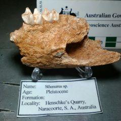 Sthenurus sp. (Giant Short-faced Kangaroo)