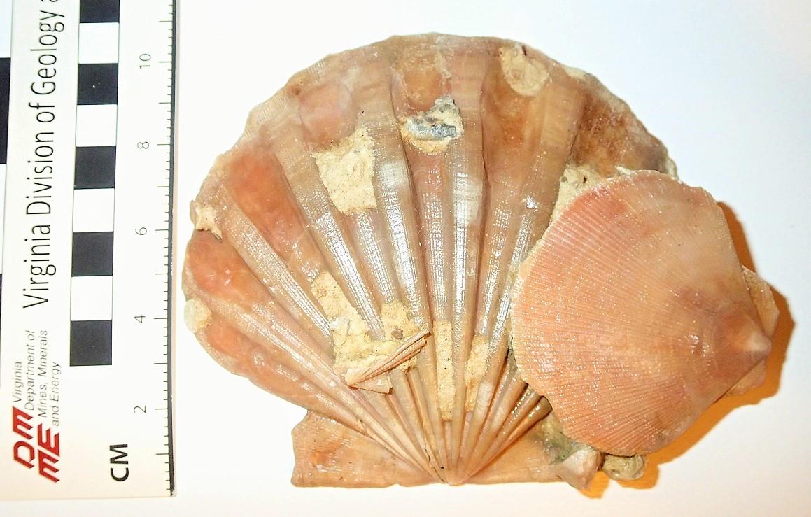 C.jeffersonius with clintonius