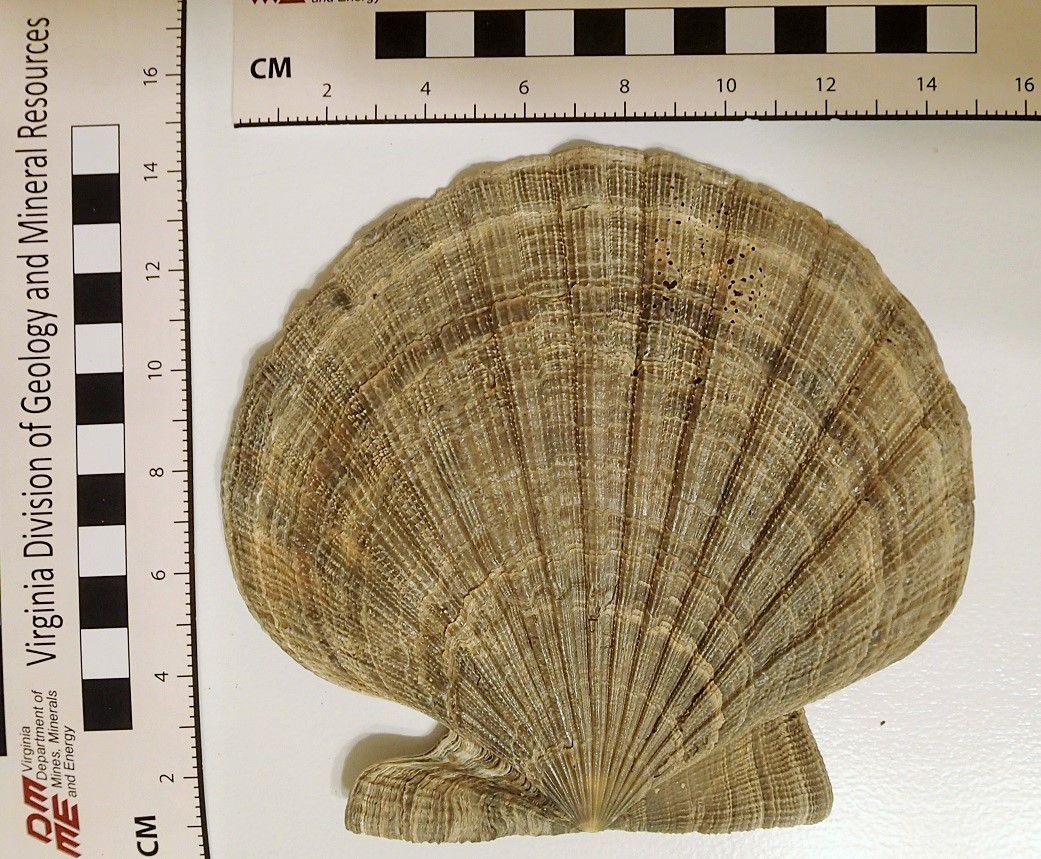 Chesapecten nefrens.left