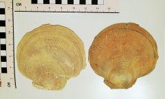 Placopecten clintonius.1